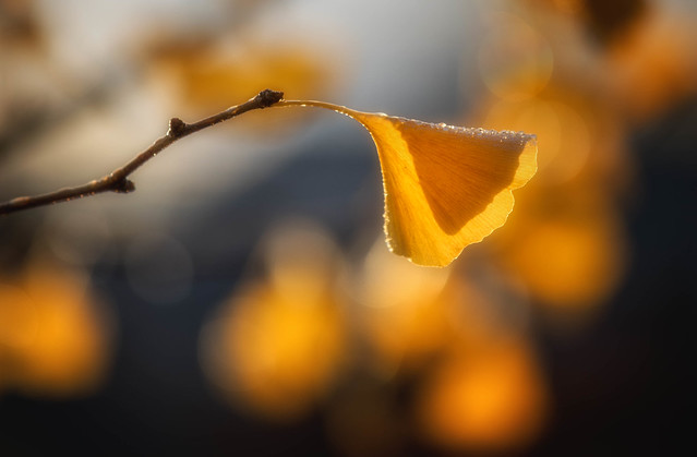 Gingko Sunrise, Canon EOS 5D MARK IV, Canon EF 70-200mm f/4L IS