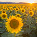 Sunflowers by CraigGoodwin2