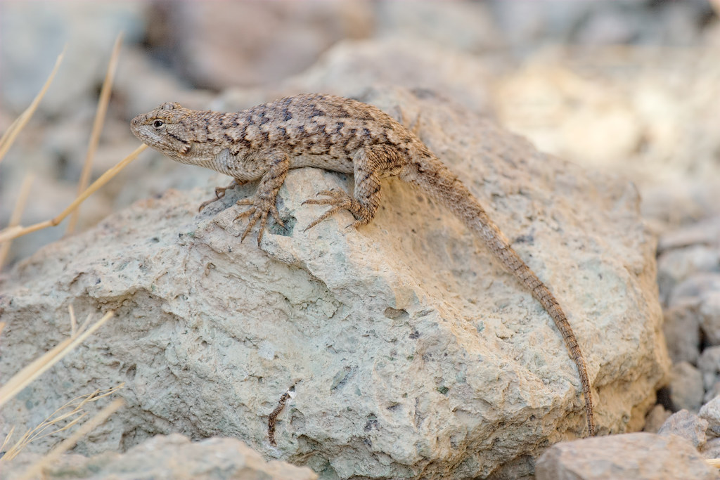 A western fence lizard sunbathes on a rock at Smith Rock State Park