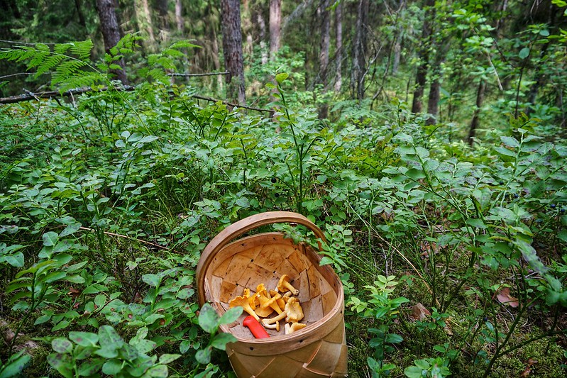 A basket of mushrooms in a Latvian forest