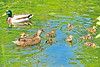 Mallard Duck Family 15-0519-1157 by digitalmarbles