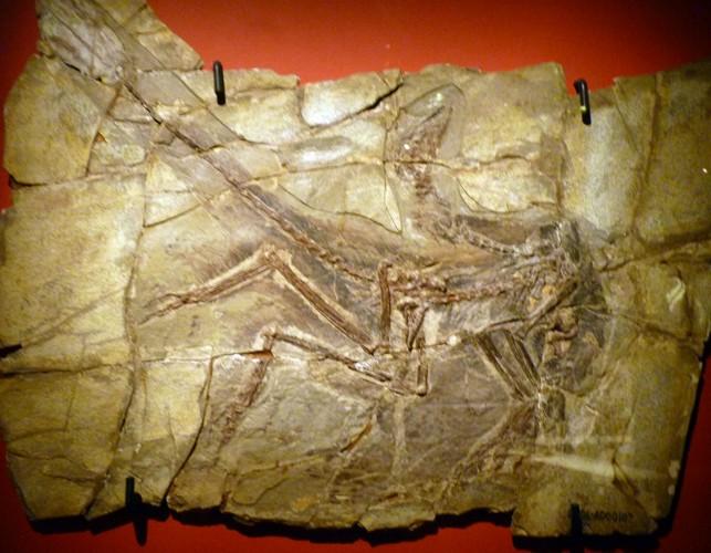 Anchiornis huxleyi 21207720912_cd626b8a4a_o