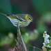BJ8A2599-Cape May Warbler