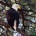 Eagle - at the Tonto Creek Fish Hatchery, AZ