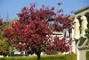 Our Neighbor's tree has partially turned red displaying a nice mixture of red and green leaves.