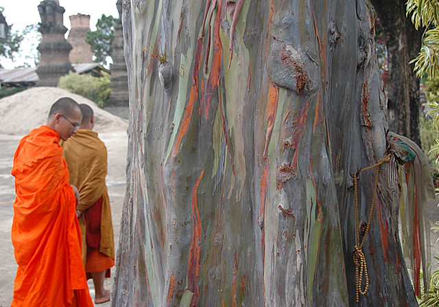 A eucalyptus tree and Buddhist monks in Laos