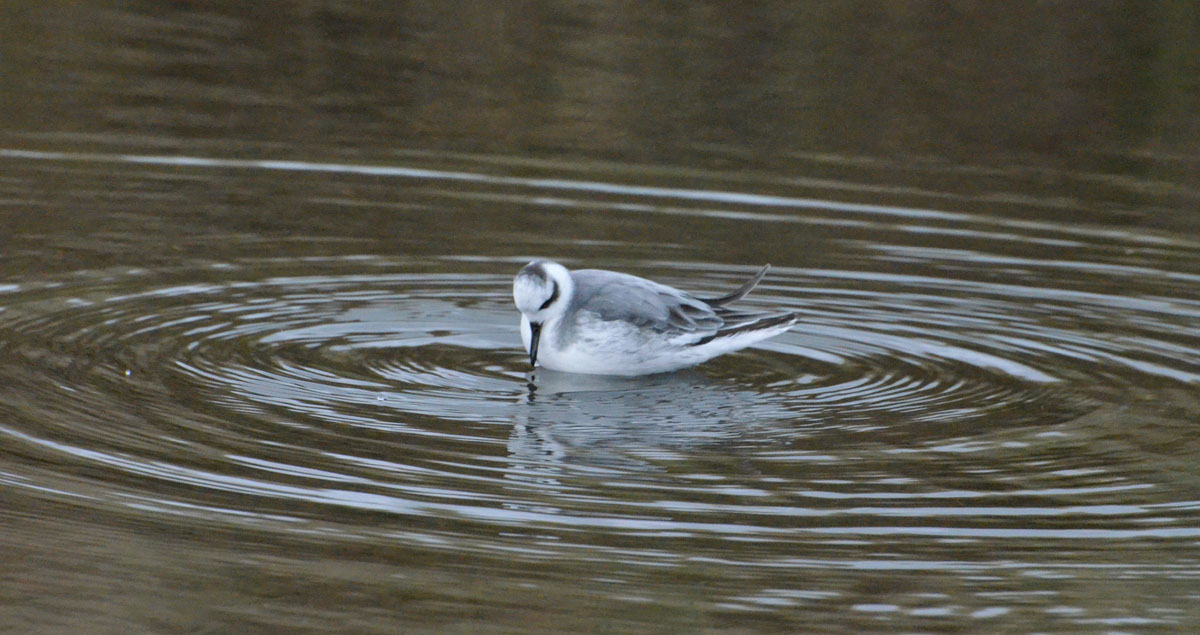 Red Phalarope - 12/13/2015