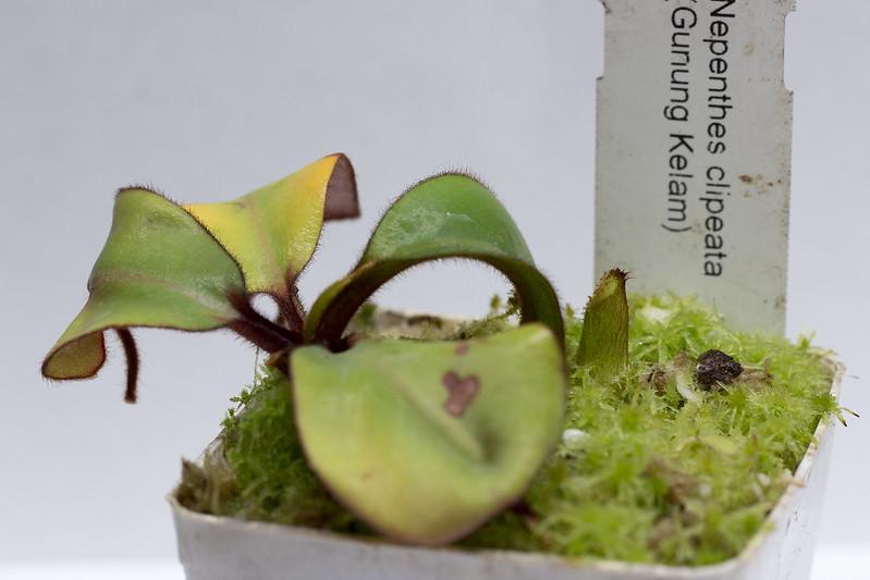 N. clipeata