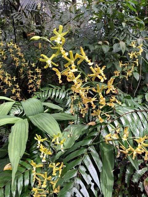 綠花肖頭蕊蘭