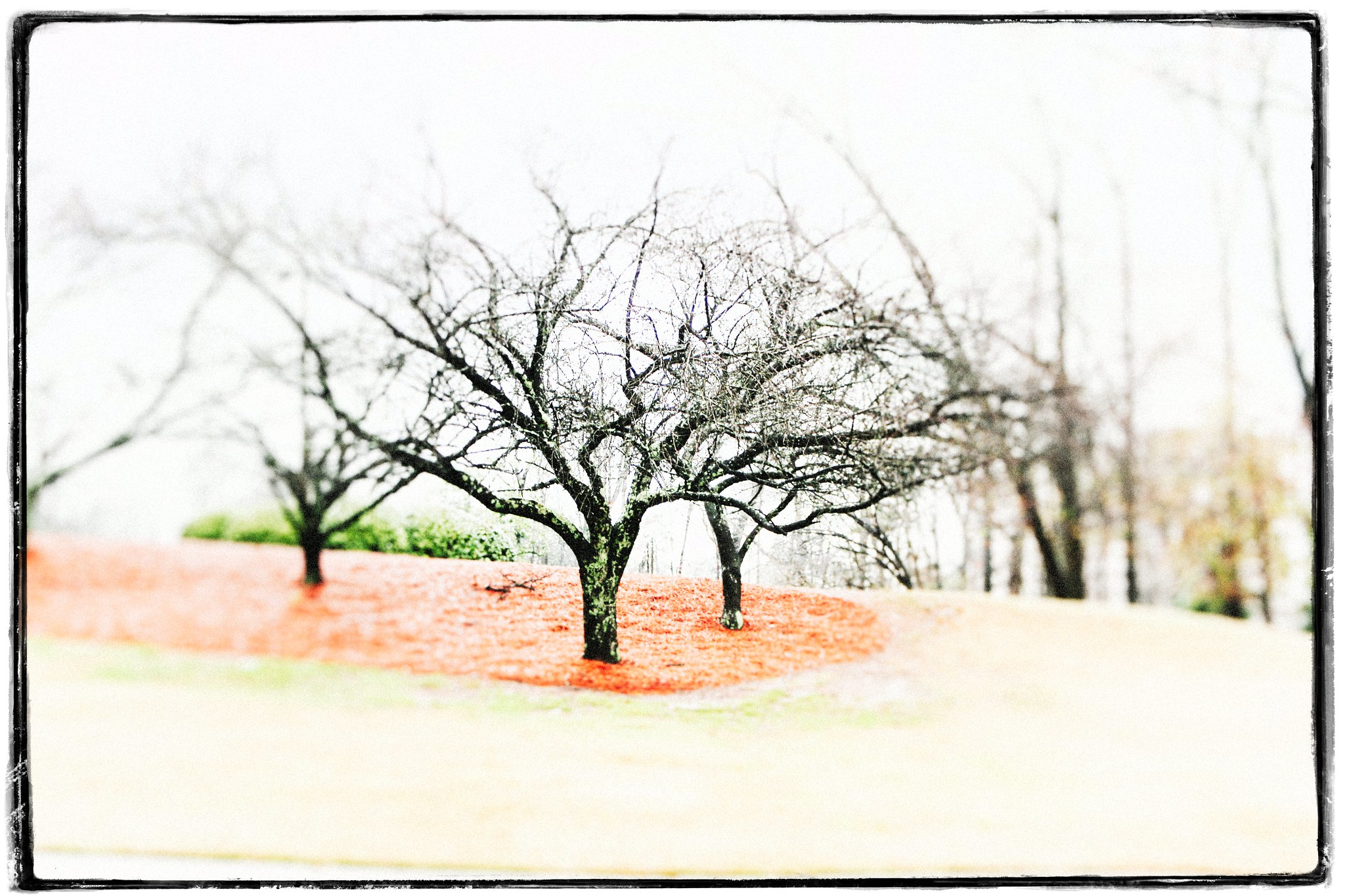 Three Trees in Red, Deember 2015