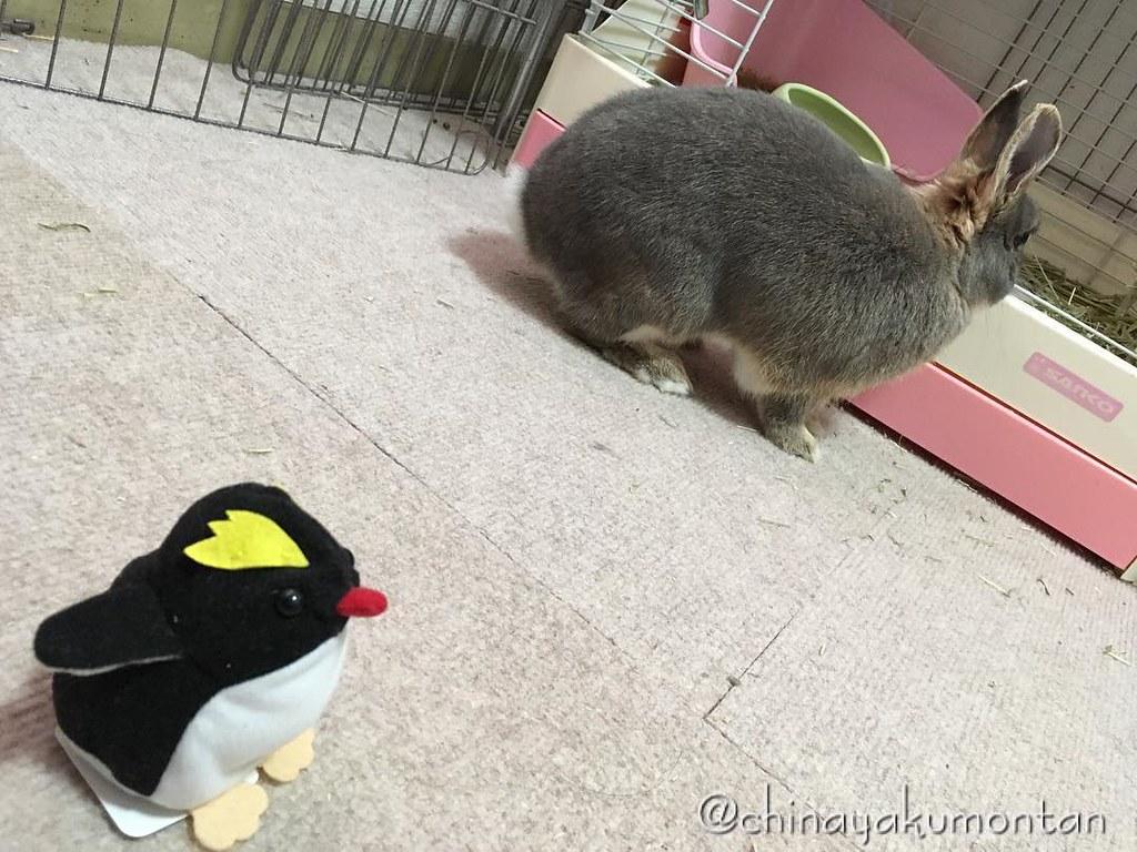 #うさぎ #うさぎのもんたん #rabbit #bunny #もふもふ #ペット #pet #love #cute #fluffy #instagood #followme #kawaii #daily #lapin #ふわもこ部 #動物 #instabunny #coniglio #petphotography #animallovers #kaninchen #cuniculus #conejo #兎子 #ペンギン #penguin #ぬいぐるみ #つばめ女子