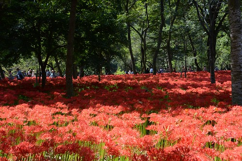 Hidaka Kinchakuda Spider Lily Festival