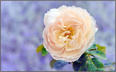 Autumn Blush Rose
