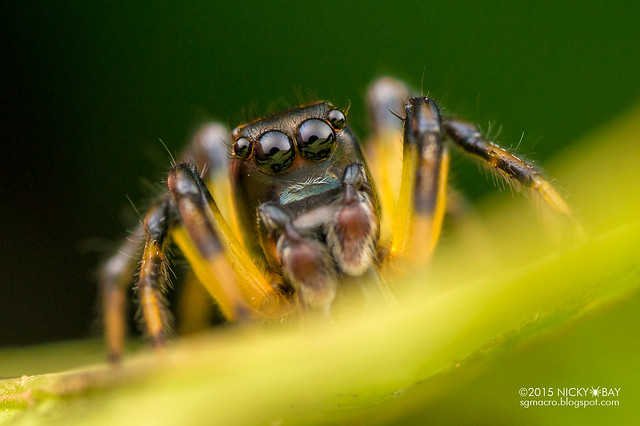 Jumping spider (Salticidae) - DSC_2178