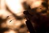 Dragonfly Silhouette - Nikon D200 + Vivitar 90mm F2.5 Macro by Phet Live