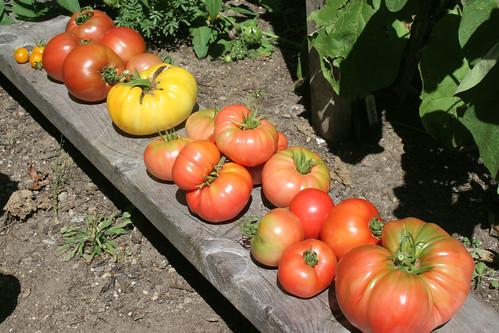 tomatoes slicing IMG_3664