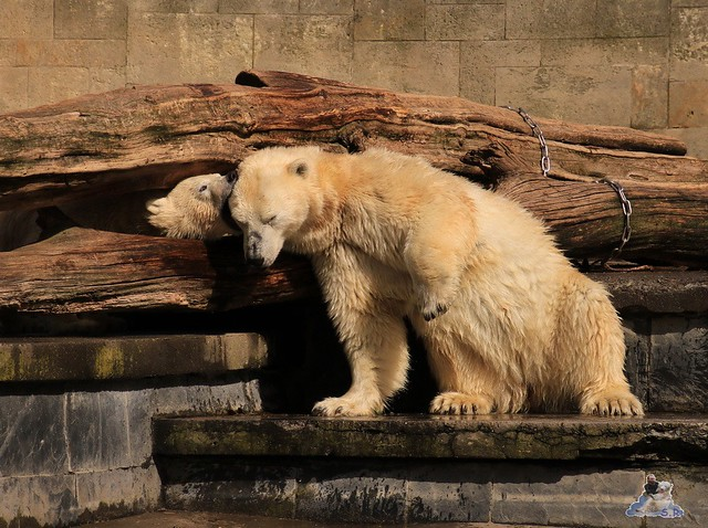 Eisbär Fiete im Zoo Rostock 05.09.2015  0203