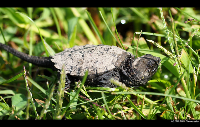 Baby snapping turtle (Chelydra serpentina)