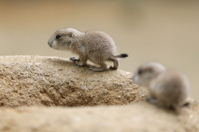 baby prarie dogs