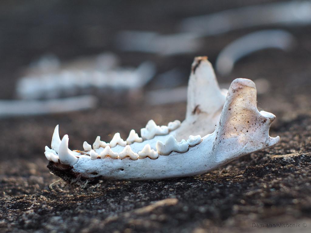 Jaw bone_c