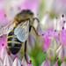 Honeybee on Sedum spectabile (ice plant) by conall..
