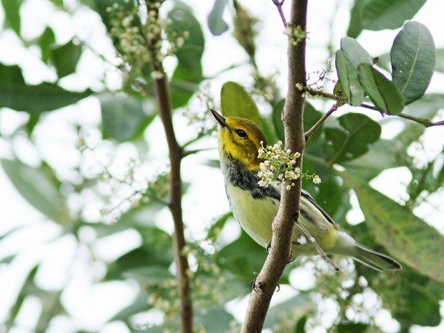 Black-throated Green Warbler 2-20151016