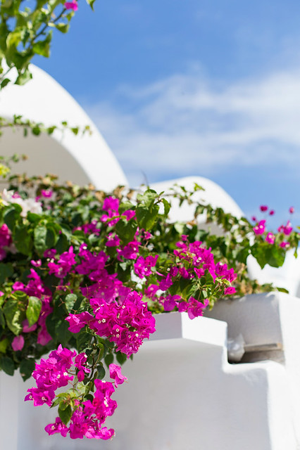 Bougainvillea in Santorini