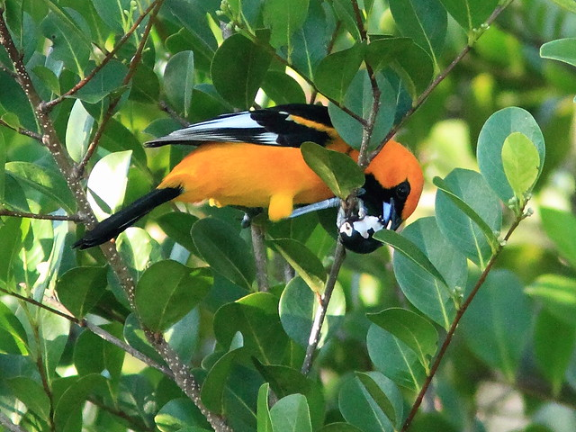 Spot-breasted Oriole eating cocoplum 04-20151202