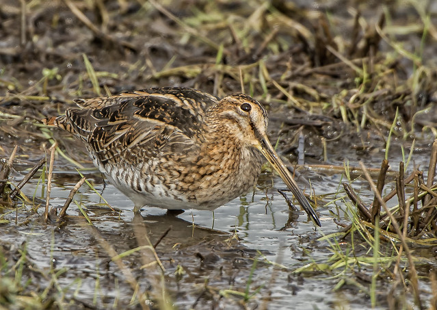 Snipe - always keeping an eye as to what is above