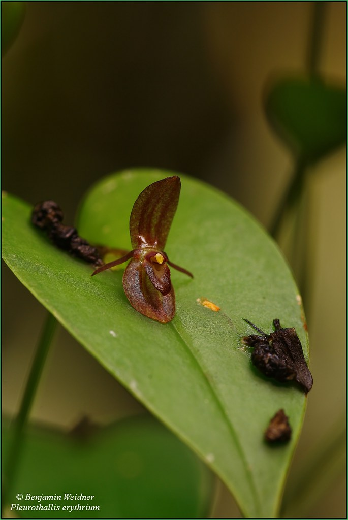 Pleurothallis erythrium (1) k