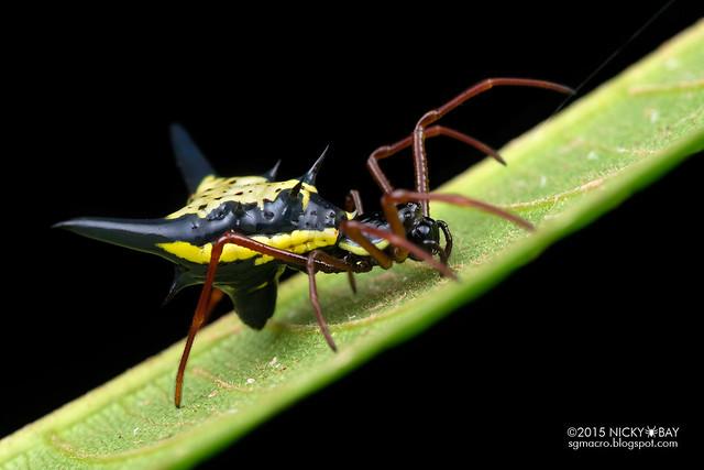 Thorn orb weaver (Micrathena schreibersi) - DSC_4334
