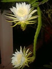 echinopsis pachanoi(0.0), flower arranging(1.0), flower(1.0), yellow(1.0), moonlight cactus(1.0), floral design(1.0), plant(1.0), flora(1.0), selenicereus grandiflorus(1.0), epiphyllum anguliger(1.0), epiphyllum oxypetalum(1.0), plant stem(1.0), caryophyllales(1.0),