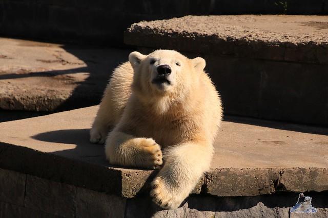 Eisbär Fiete im Zoo Rostock 06.09.2015  0196