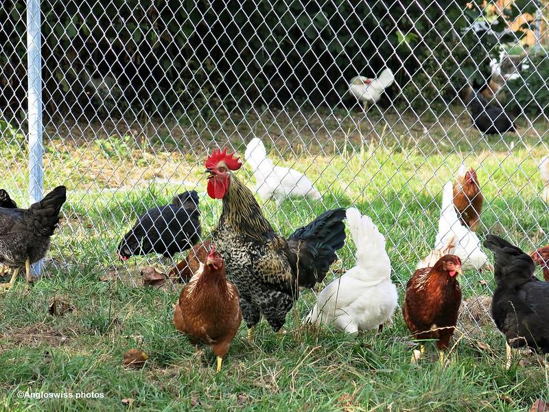 Harold and his hens