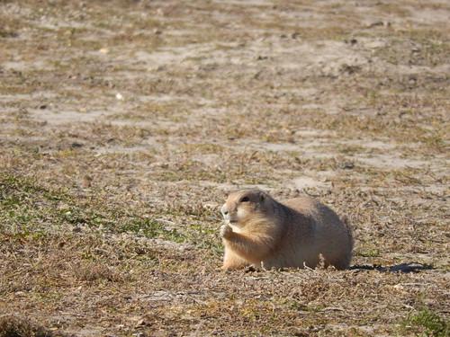 Cactus Flat - tamme prairie dog - 2