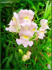 Sunny Antirrhinum majus (Common Snapdragon, Garden Snapdragon, Snapdragon, Dragon Flowers) in our garden bed, Dec 9 2013