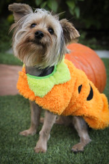 Little Pumpkin Yorkie