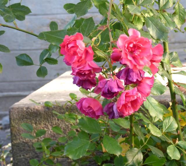 lokakuuun ruusut