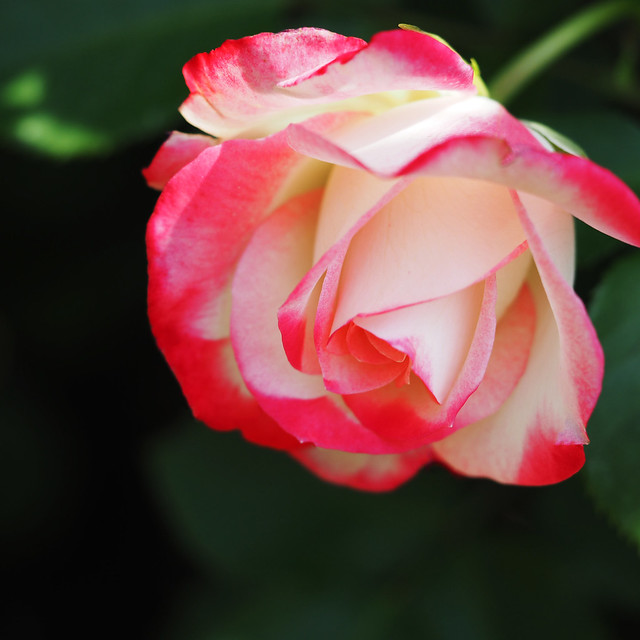 Photo:Rose, Jubile du Prince de Monaco, バラ, ジュビレ デュ プリンス ドゥ モナコ, By T.Kiya