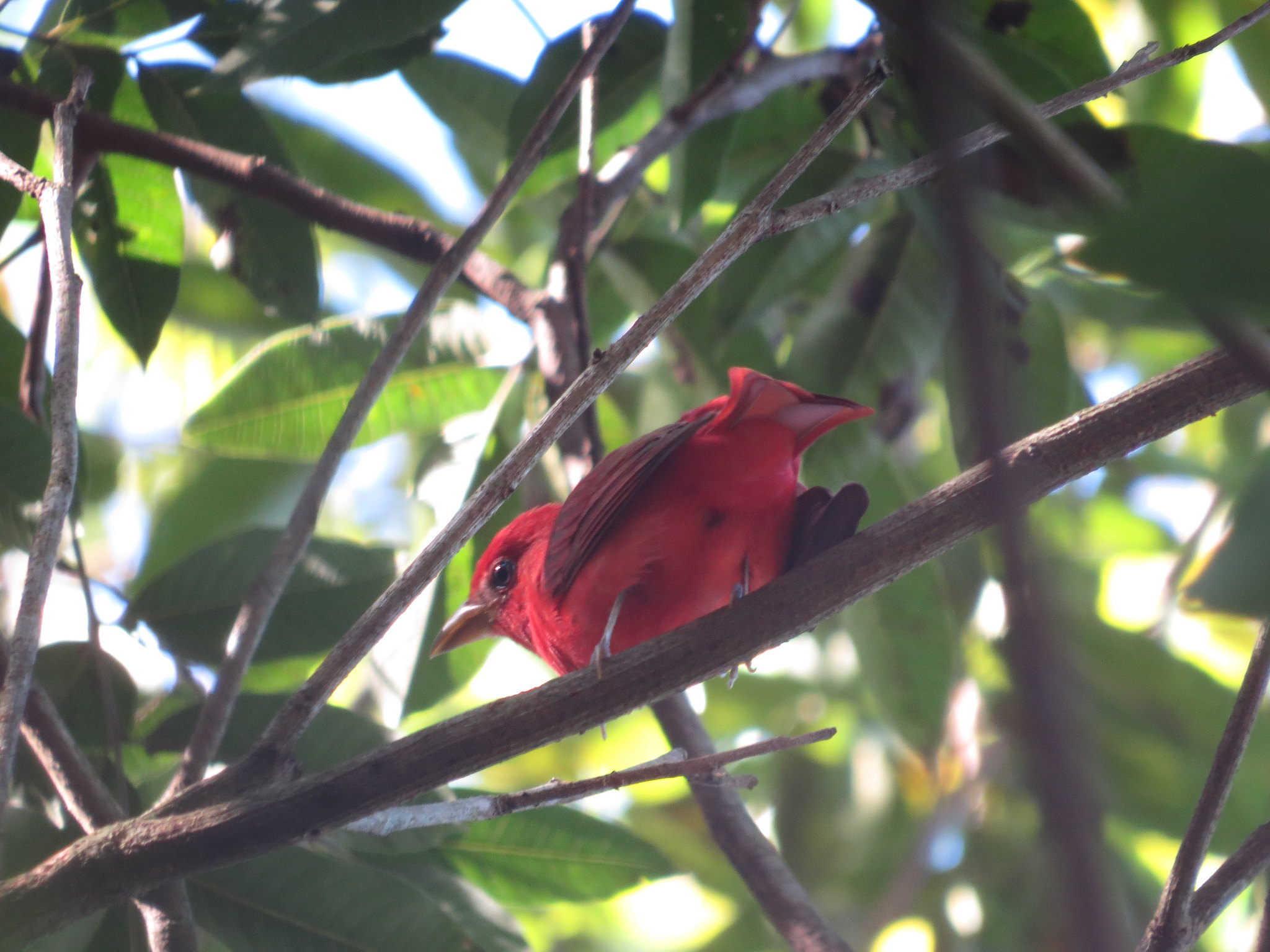 Summer Tanager by Seth Inman - La Paz Group