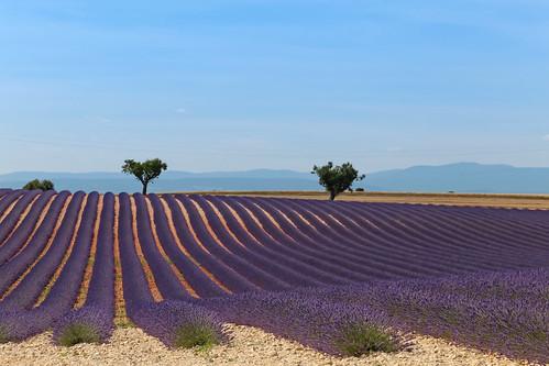 trees summer france mountains june landscape europe purple violet lavender paca arbres provence été lavande alpesdehauteprovence 2015 valensole meteorry lubéron provencealpescôtedazur provencealpescôted'azur plateaudevalensole