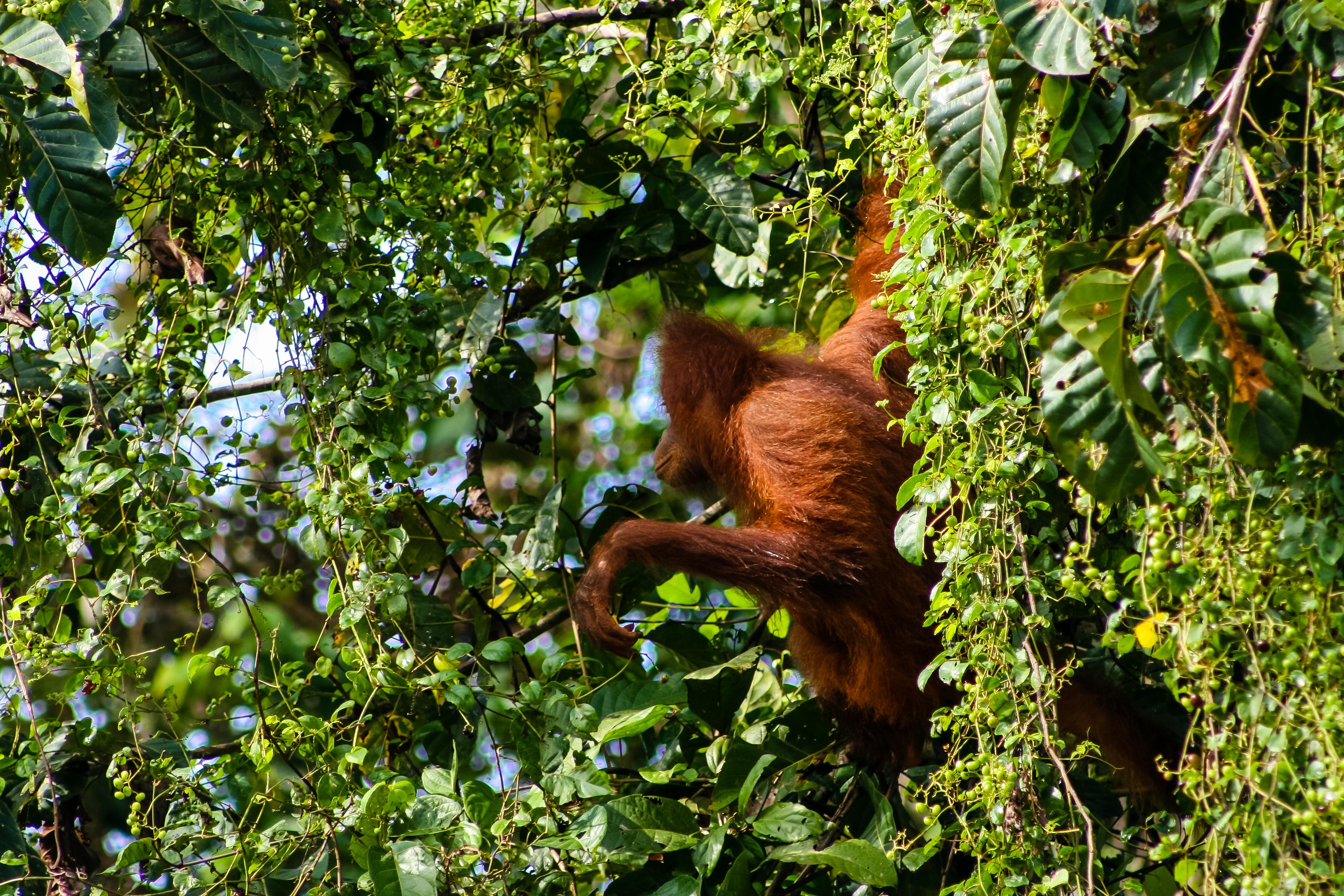 Orangutang Borneo-306