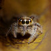 Jumping spider.. by Jams Nabil