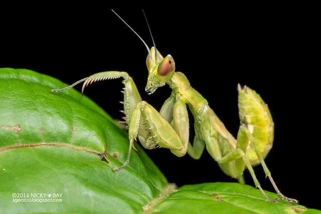 Mantis (Creobroter sp.) - PA120128