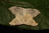 Hooktip Moth Pair (Drepana pallida, Drepanidae)