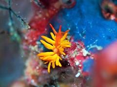 イボヤギミノウミウシ Tenellia melanobrachia