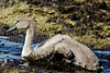 _MGL9636 Knopsvane - Mute Swan - Cygnus olor by Thanks for visit Soes' photo from the lovely natur