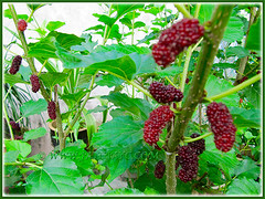 Morus nigra with edible mulberries (Black Mulberry, Blackberry, Indian/Persian Mulberry, Silkworm Mulberry), Aug 28 2015