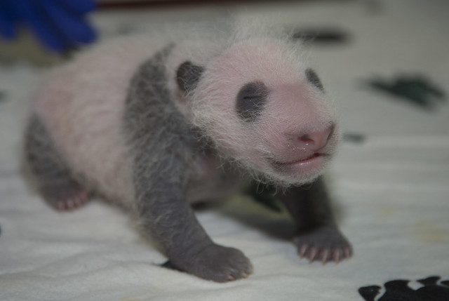Giant Panda Cub Health Check Sept. 8, 2015