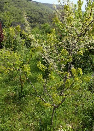 Robinia pseudoacacia - robinier faux acacia  21979865052_64f8614ea2